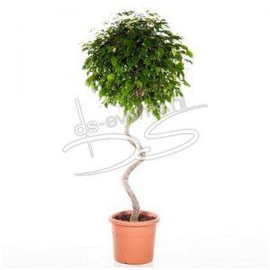 Ficus Benjamina Exotica (Toekan Twister)