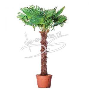 Palmboom Trachycarpus Fortunei hoogte ca. 250cm
